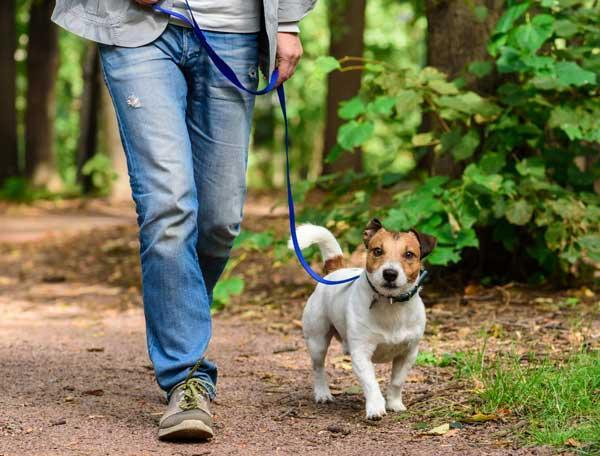 Man walking beagle on trail