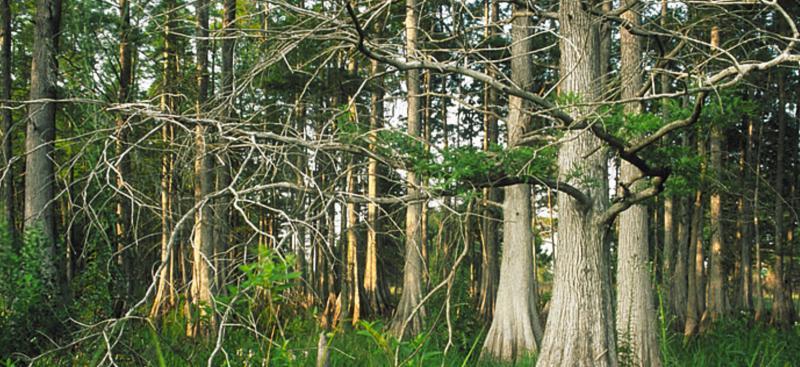 Green Swamp Wilderness Preserve Watermatters Org