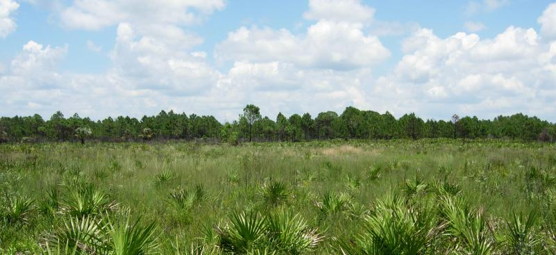uplands with palmettos and pine trees