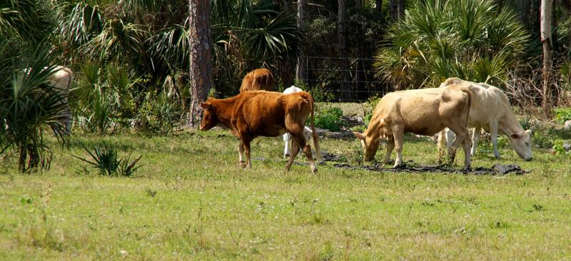cattle grazing on grass