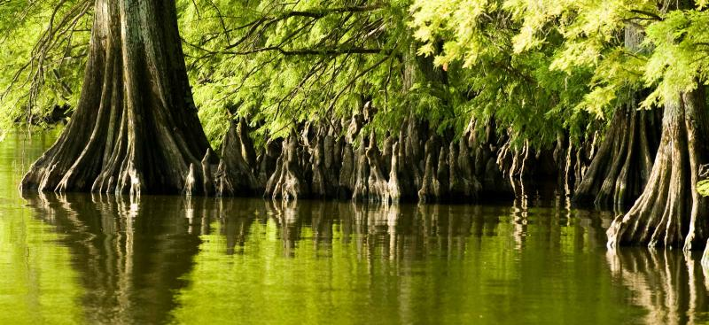 Cypress trees - Environmental Resource Permit