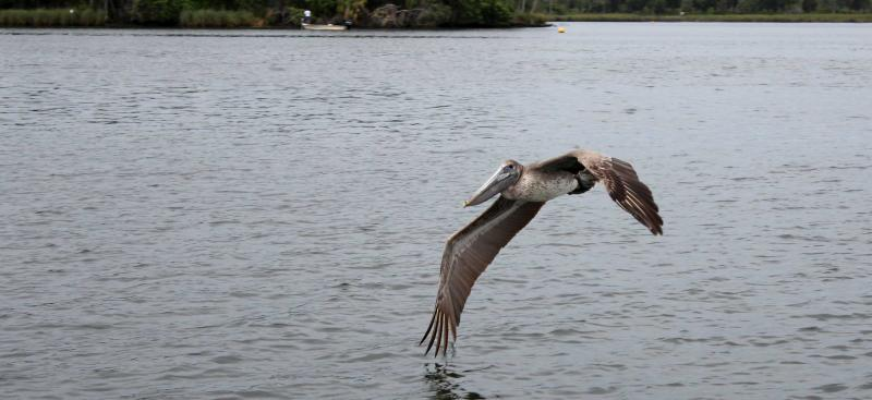 Pelican flying over Kings Bay
