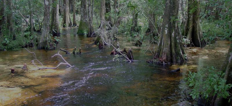 Cypress Creek Preserve on the Pithlachascotee River