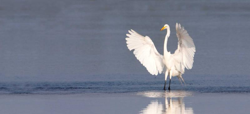 snowy white egret standing in water