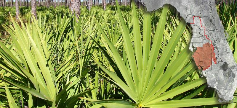 close up of palmetto plants with a map of Florida over plants