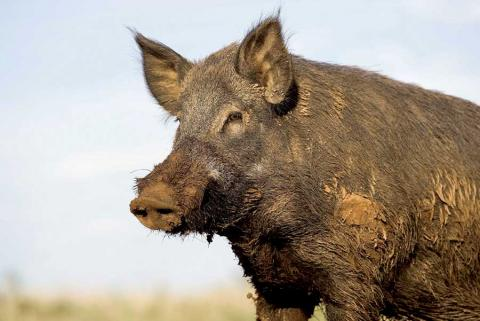 Feral hog close-up