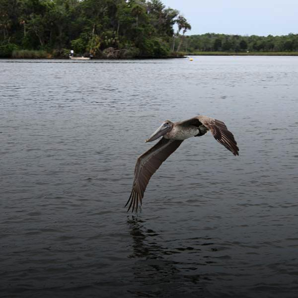 Pelican landing on Crystal River