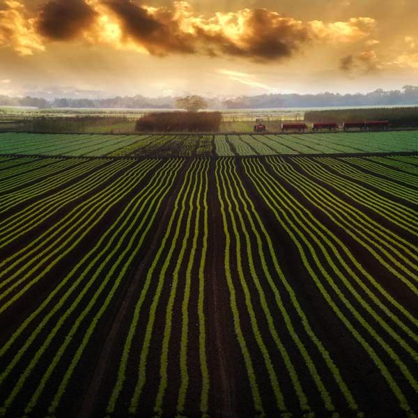 Rows of crops with beautiful sunset